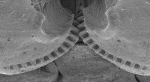 The interlocking gears at the top of the legs of the adolescent Issus nymph. Image courtesy Malcolm Burrows