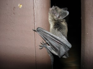 A new study has revealed that bats may be responsible for the SARS epidemic that broke out in 2003. Gábor Kovács/Flickr Commons