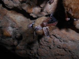 Tri-colored bat with visible symptoms of WNS from Chickamauga and Chattanooga National Military Park, Georgia. (National Park Service/Flickr)