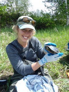 MSc student Amy Duncan holds one of the Western Painted Turtles that she is studying. (Natasha Audy/Submitted)