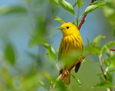 Yellow Warbler, one of the 139 North American birds researched for moult strategy. (Rodney Campbell/ Flickr Commons)