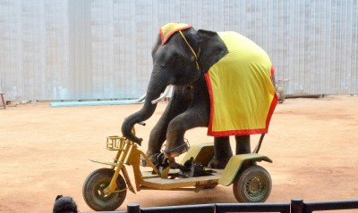 An elephant pedals a custom tricycle at Nong Nooch Gardens in Pattaya. (Marlys Klossner/The Omega)