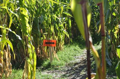 "The ""brainy"" corn maze, that will test your knowledge and navigation skills at Tranquille Farms. (Jennifer Will/The Omega)"